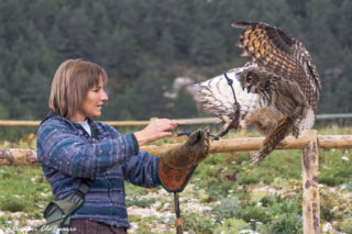 An eagle-owl about to land on Stania's glove
