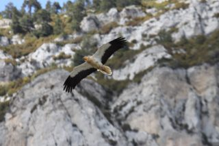 Egyptian vulture appears