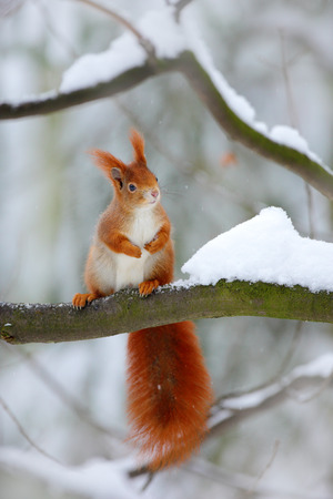 Squirrel during winter